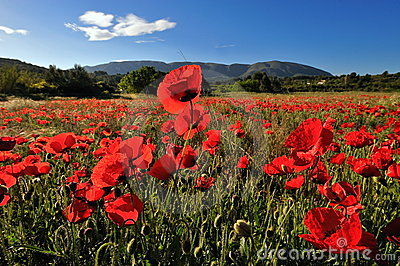 Red poppies on a field