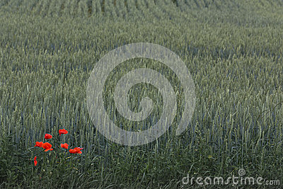 Red poppies over wheat background