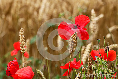 Red Poppies - for Remembrance Day. (Corn Poppy)