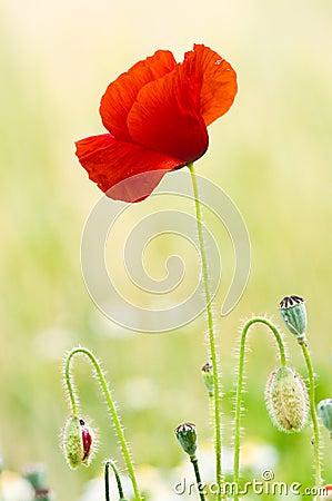 Free Red Poppy Stock Image - 14921771