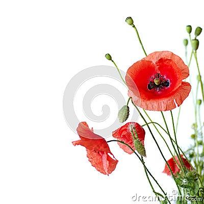 Free Red Poppy Royalty Free Stock Photo - 19961375