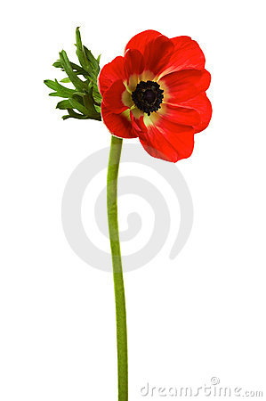 Free Red Poppy Stock Photos - 3982353