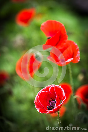 Free Red Poppy And Bud - Field Flower - Macro Stock Photography - 74319002