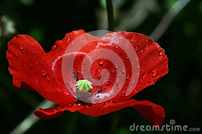 A red poppy blossom