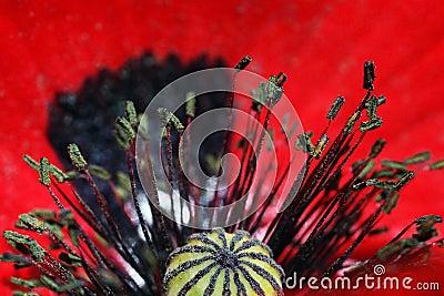 A red poppy blossom