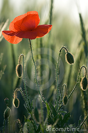 Red poppy close-up into the cereals