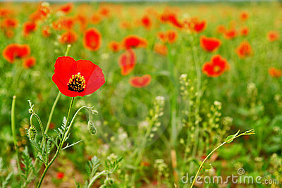 Red Poppy field