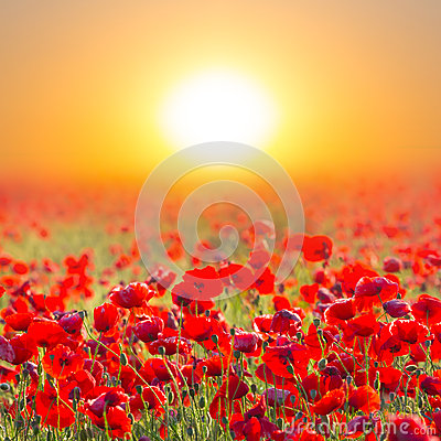 Free Red Poppy Field At Stock Image - 32657061