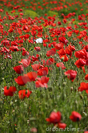 Red poppy field with one white poppy