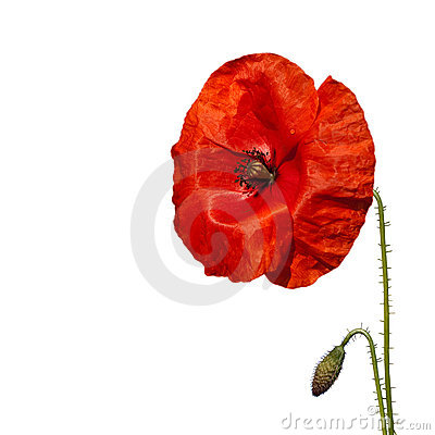 Picturepoppy Flower on Red Poppy Flower Royalty Free Stock Images   Image  11743049