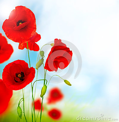 Free Red Poppy Flower Stock Images - 25561484