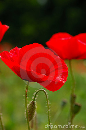 Red poppy flowers macro shot