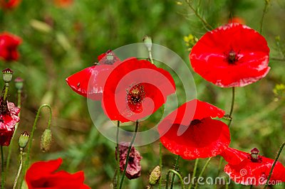 Red Poppy Flowers - Papaveraceae Papaver Rhoeas Stock Photos - Image: 6617543