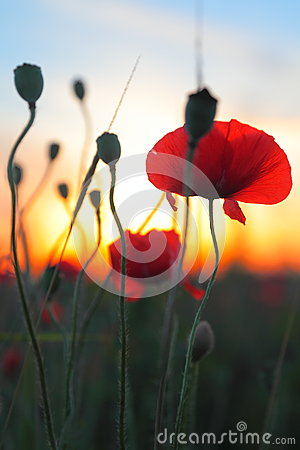 Red poppy flowers at sunset