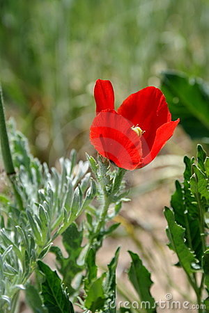 Red poppy on the meadow.