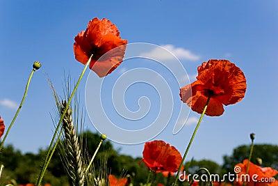 Red poppy in meadow