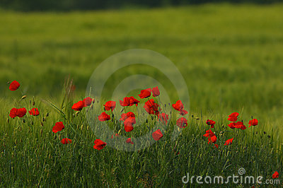 Red poppy Papaver rheas field profiled on green