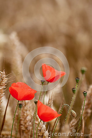 Red Poppy (Papaver Rhoeas) - Remembrance Day