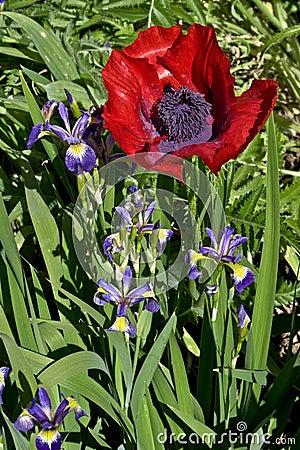 Red poppy and purple irises
