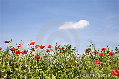 Red poppy and the sky