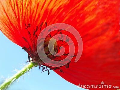 Red poppy with stalk