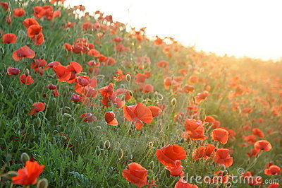 Red Poppy on the sunset