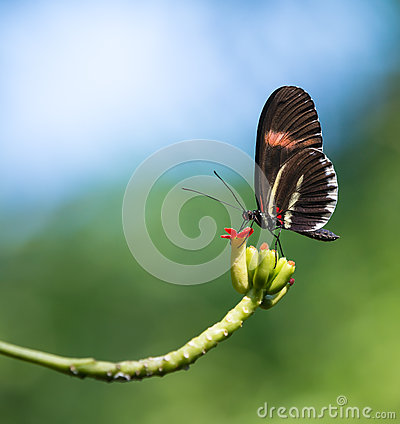 Free Red Postman Butterfly (Heliconius Erato) Stock Photography - 58358472