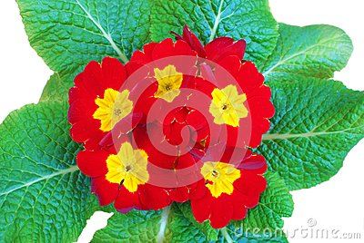 Red primula flowers with green leaves  on white background