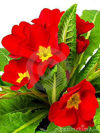 Red primula flowers and plants