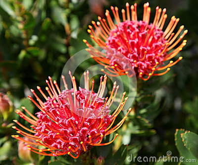 Red protea flowers
