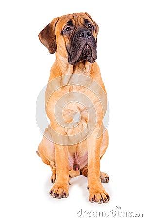 Free Red Puppy Bullmastiff Royalty Free Stock Photo - 28915785