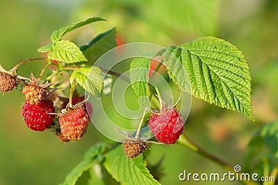 Red raspberry.