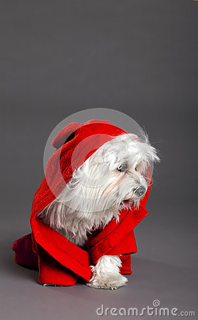 Red Riding Hood Maltese Dog Studio Portrait