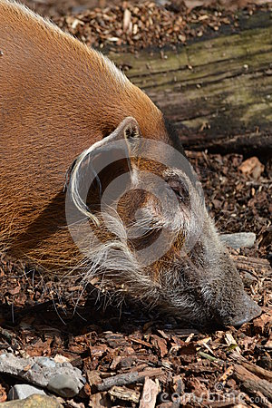 Free Red River Hog (Potamochoerus Porcus) Stock Photography - 52850112
