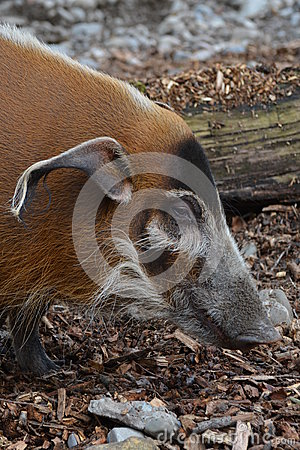 Free Red River Hog (Potamochoerus Porcus) Royalty Free Stock Photography - 52850727