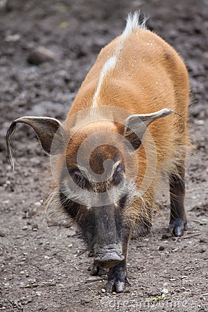 Free Red River Hog Potamochoerus Porcus Stock Photos - 86181413