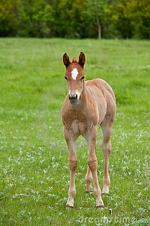 Red roan quarter horse foal
