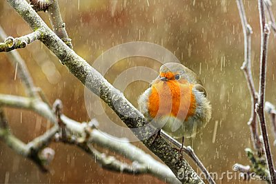 Red robin in the snow