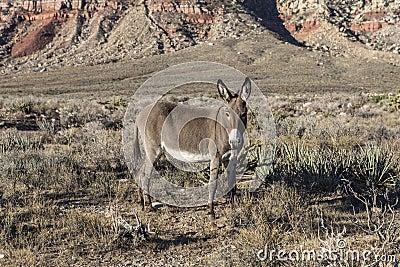 Red Rock Nevada Burro