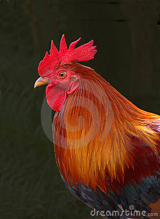 Free Red Rooster Stock Photo - 10702990