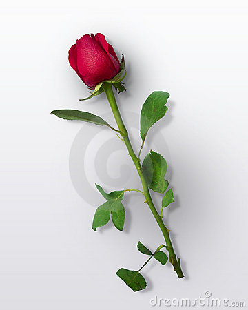 Free Red Rose Royalty Free Stock Photography - 12748447