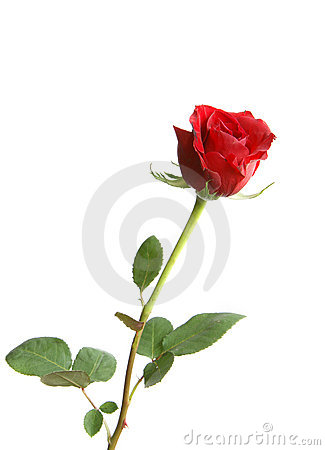 Free Red Rose Royalty Free Stock Image - 13526806