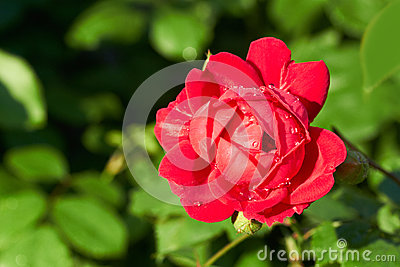 Red Rose Stock Image - Image: 25407911