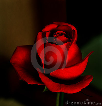 Free Red Rose Royalty Free Stock Images - 4018469
