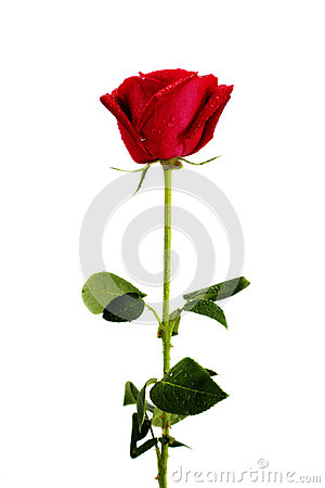 Free Red Rose Stock Photos - 44656323