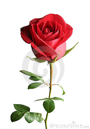 Free Red Rose Royalty Free Stock Images - 4590099