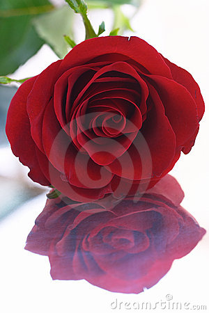 Free Red Rose 8 (reflection) Royalty Free Stock Image - 33086