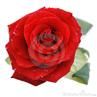 Free Red Rose Royalty Free Stock Photo - 8648735