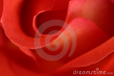 Red rose abstract macro