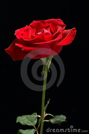 Free Red Rose Black Background Royalty Free Stock Photography - 1880597